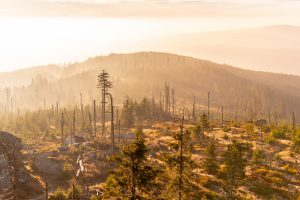 Forest devastated by bark beetle infestation // Sumava National Park and Bavarian Forest, Czech Republic and Germany